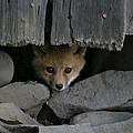 Peeping Fox by Patsy Zedar