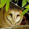 Peering Barn Owl by Eric Albright