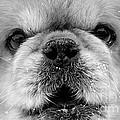 Pekingese Puppy by Marvin Blaine