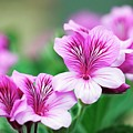 Pelargonium Cucullatum by Sam K Tran/science Photo Library