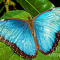 Peleides Blue Morpho by Millard H. Sharp