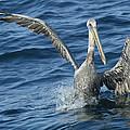 Pelican 2 by Don Olea