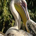 Pelican 2 by Tam Ryan