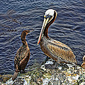 Pelican And American Black Duck by Tommy Anderson