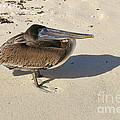 Pelican And His Shadow by Teresa Zieba