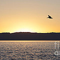 Pelican At Sunset by Liz Leyden