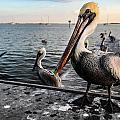 Pelican At The Pier by Tammy Lee Bradley