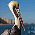 Pelican by Barbara McMahon