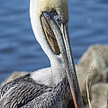 Pelican By The River by Bruce Frye