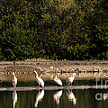 Pelican Clean Up Time by Robert Bales