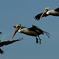 Pelican Collage by Ernie Echols