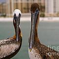 Pelican Couple by Jennifer White