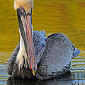Pelican by Dave Mills