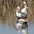 Pelican Deuce by Diane Alexander