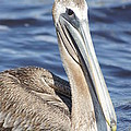 Pelican by Evelyn Hill