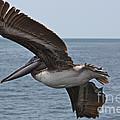 Pelican Fly By by Carol Groenen
