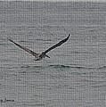 pelican Flying Low by Tom Janca