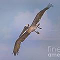 Pelican Grace In Flight by Deborah Benoit