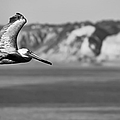 Pelican In Black And White by Sebastian Musial