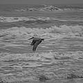Pelican In Flight by JL Griffis