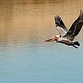 Pelican In Flight by Phil Huettner
