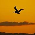 Pelican In Flight by Ricardo J Ruiz de Porras