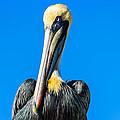 Pelican In Key Largo by George Kenhan