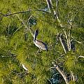 Pelican In The Trees by Denise Mazzocco