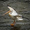 Pelican Landing by Paul Freidlund