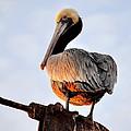 Pelican Looking Back by AJ  Schibig