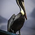 Pelican On Dock by Debra Forand