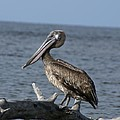 Pelican On Driftwood by Patricia Twardzik