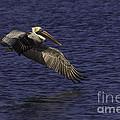 Pelican Over Water by Maria  Struss