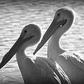 Pelican Pals by Laurie Perry