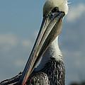Pelican Profile by Ernie Echols