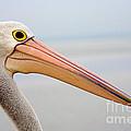 Pelican Profile by Mike  Dawson