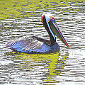 Pelican Reflections by Rebecca Korpita