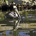 Pelican Reflected by Sally Weigand