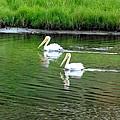 Pelican Reflections by Marilyn Burton