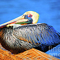 Pelican Rest by Jost Houk