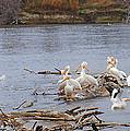 Pelican Rest Stop by Steve Karol