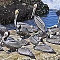 Pelican Rock by David Berg