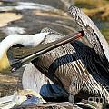 Pelican Scratch by Adam Jewell