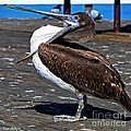 Pelican Showing Off Pouch by Susan Wiedmann