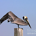 Pelican Stretch by Al Powell Photography USA