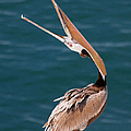 Pelican Stretch by Dale Nelson
