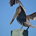 Pelican Stretch by Linda Kerkau