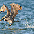 Pelican Taking Off by Dave Mills
