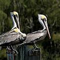 Pelican Threesome by John M Bailey