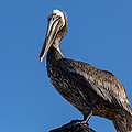 Pelican Watch by John Daly